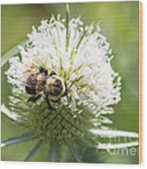 Bumble Bee On Button Bush Flower Wood Print