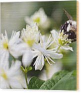 Bumble Bee On Clematis Wood Print