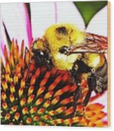 Bumblebee On Echinacea  Wood Print