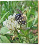 Bumblebee On White Clover Wood Print