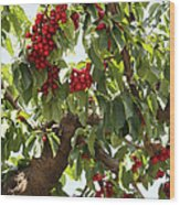 Bumper Crop - Cherries Wood Print