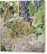 Bunches Of Red Wine Grapes Growing On Vine Wood Print