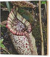 Burbidges Pitcher Plant Sabah Borneo Wood Print