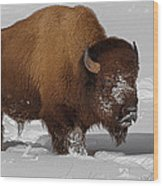 Burly Bison Wood Print