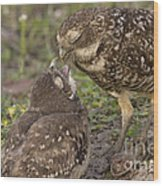 Burrowing Owl Feeding It's Chick Photo Wood Print