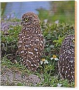 Burrowing Owl Siblings Wood Print