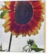 Burst Of Sunflower Wood Print