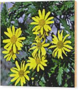 Bush Daisy  Wood Print