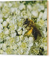 Busy Bee On A Rowan Flowers - Featured 3 Wood Print