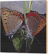 Butterfly 001 Wood Print