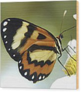Butterfly 013 Wood Print
