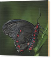 Butterfly 028 Wood Print