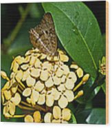 Butterfly Ins 17-1 Wood Print