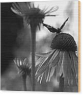 Butterfly On Echinacea Wood Print by Maeve O Connell