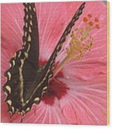 Butterfly On Hibiscus Wood Print