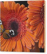 Butterfly On Orange Mums Wood Print by Garry Gay