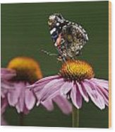Butterfly Red Admiral On Echinacea Wood Print