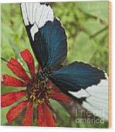 Butterfly Sara Longwing II Wood Print