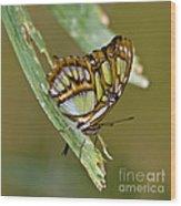 Butterfly Siproeta Stelenes Wood Print