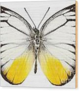 Butterfly Species Cepora Judith  Wood Print
