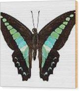 Butterfly Species Graphium Sarpedon Wood Print