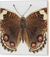 Butterfly Species Junonia Orithya  Wood Print
