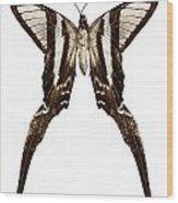 Butterfly Species Lamproptera Curius  Wood Print