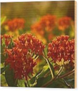 Butterfly Weed In The Sunset Wood Print