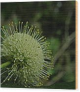 Buttonbush Wood Print