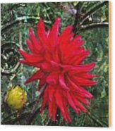 By The Garden Gate - Red Dahlia Wood Print