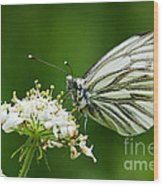 Cabbage Butterfly Wood Print