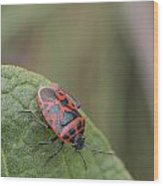 Cabbage Shield Bug Wood Print