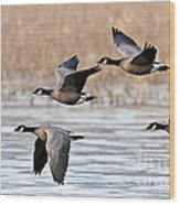 Cackling Geese Flying Wood Print