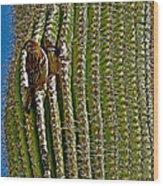 Cactus Wren With Offspring In A Saguaro Cactus In Tucson Sonoran Desert Museum-arizona Wood Print