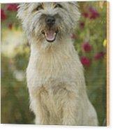 Cairn Terrier Wood Print