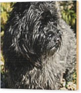 Cairn Terrier Portrait Wood Print