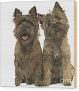 Cairn Terriers Wood Print