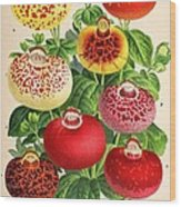 Calceolaria From A Vintage Belgian Book Of Flora. Wood Print