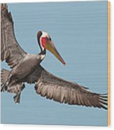 California Brown Pelican With Stretched Wings Wood Print