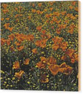 California Gold Poppies Wood Print