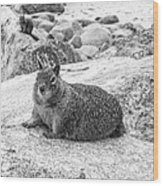 California Ground Squirrel In Black And White Wood Print