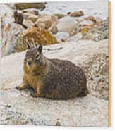 California Ground Squirrel With Sandy Nose Wood Print
