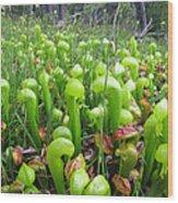 California Pitcher Plant Wood Print