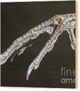 California Quail Foot Wood Print