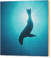California Sea Lion  Channel Islands Np Wood Print
