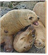 California Sea Lions Wood Print