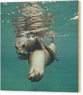 California Sea Lions Playing Sea Wood Print