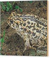 California Toad Bufo Boreas Halophilus Wood Print