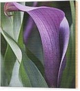 Calla Lily In Purple Ombre Wood Print