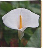 Calla Lily Laterally Expanded Wood Print